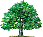 hardwood oak tree